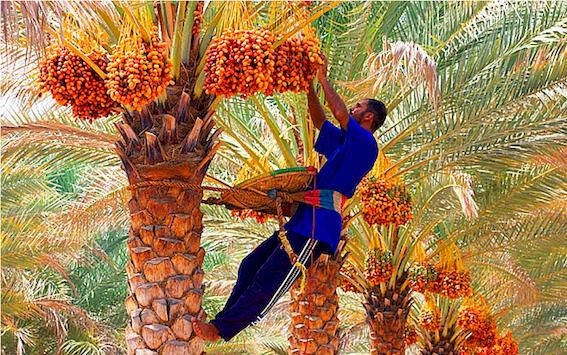 Culture des palmiers