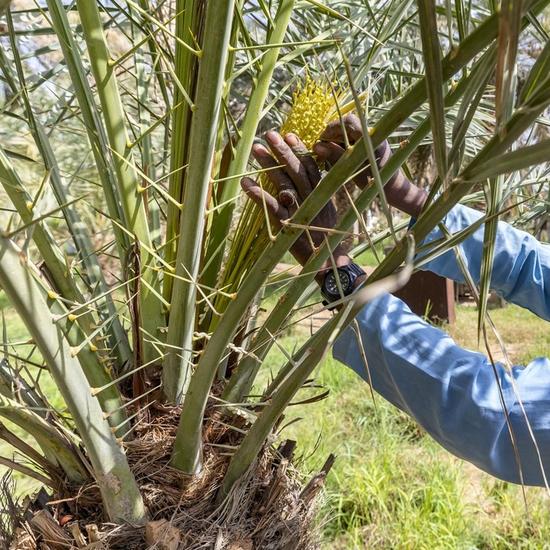 Le processus de pollinisation des dattes